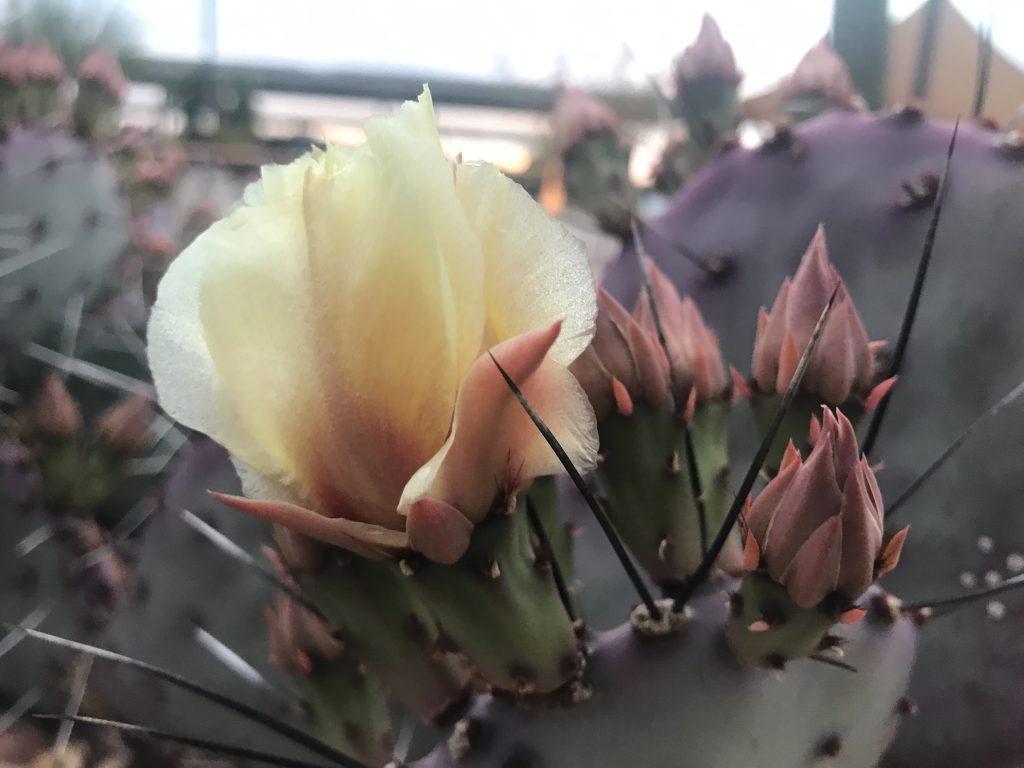 Cactus flowering in the desert. Desert update